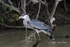 Down the hatch<br /> <br /> Cocoi heron (Ardea cocoi) swallowing a fish, Pixaim River, Pantanal, Brazil