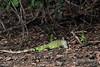 Green-iguana,-Pixaim-River,-Pantanal,-Brazil