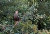 Southern crested caracara (Caracara plancus) in a tree, Rio Pixaim, Pantanal, Brazil