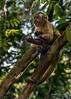 Brown capuchin monkey (Cebus capucinus) in late day dappled light, Fazenda Saint Tereza, Pantanal, Brazil
