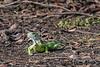 Green iguana (Iguana iguana) posing on the river bank, Pixaim River, Pantanal, Brazil