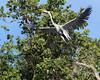 Cocoi heron (Ardea cocoi) launching into the air, Pixaim River, Pantanal, Brazil (best larger)