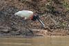 Jabiru stork (Jabiru mycteria) eating a Pseudoplatystoma corruscans, the Spotted sorubim, a species of long-whiskered catfish<br /> Jabiru mycteria, Pixaim River, Pantanal, Brazil