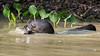 Giant river otter (Pteronura brasiliensis) holding a fish, Pixaim River, Pantanal, Brazil