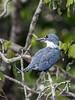 Ringed kingfisher (Megaceryl toruata) in a tree