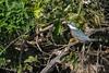 Ringed kingfisher (Megaceryl torquata) in a tree with a fish, Pixaim River, Pantanal, Brazil