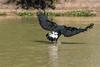 Common black hawk catches a fish #1, Pixaim River, Pantanal, Brazil