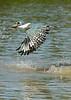 Ringed kingfisher (Megaceryl torquata) flying away with its fish, Pixaim River, Pantanal, Brazil