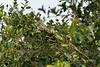 Camouflaged Green iguana (Iguana iguana), Pixaim River, Pantanal, Brazil
