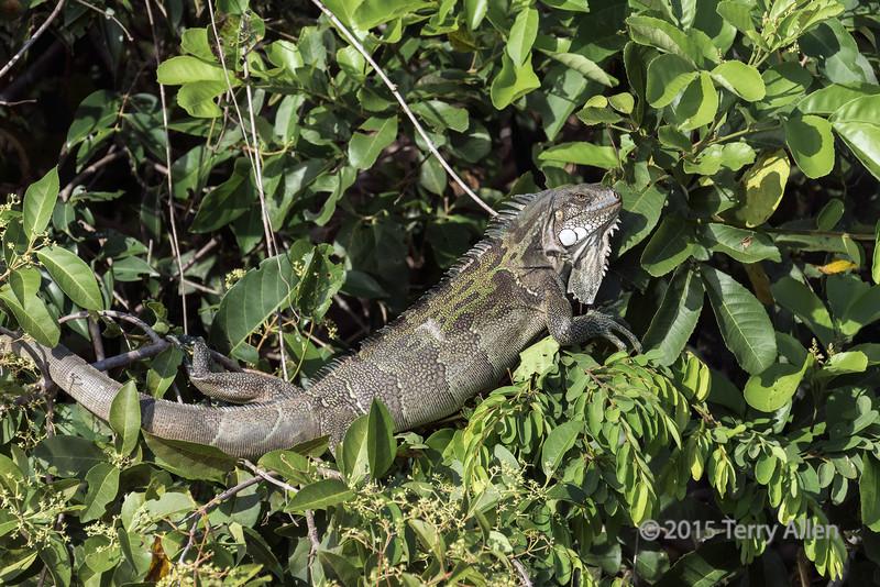 Green iguana (Iguana iguana) lying in a tree, Pixaim River, Pantanal, Brazil