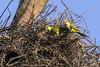 Pair of monk parakeets (Myiopsitta monacus cotorra) living in a Jabiru stork's nest, Fazenta Saint Tereza, Pantanal, Brazil