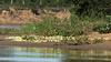 Large flock of suphur butterflies (Phoebis senae) on a sandbar on the Pixaim River, Pantanal, Brazil (best larger)