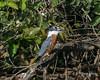 Ringed kingfisher (Megaceryle torquata) swallowing a fish, Pixaim River, Pantanal, Brazil