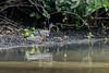 Pair of sunbitterns (Eurypy gaheias) by the mangroves, Pixam River, Pantanal, Brazil