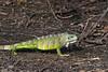Green iguana (Iguana iguana) walking on the river bank, Pixaim River, Pantanal, Brazil