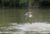 Ringed kingfisher (Megaceryl toruata) with a large fish in its beak.