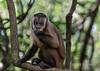 Brown capuchin monkey with a piece of banana, Fazenda Saint Tereza, Pantanal, Brazil