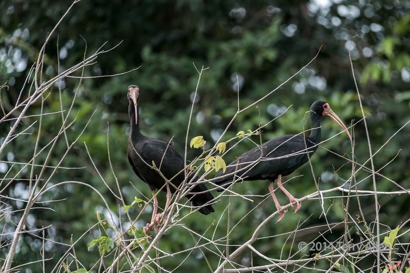 Bare-faced ibis pair (Phimosus infusctus), Pixaim River, Pantanal, Brazil