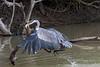 Cocoi heron (Ardea cocoi) in a hurry to eat its fish, Pixaim River, Pantanal, Brazil