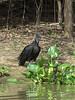 American black vulture (Coragyps atratus), Pixaim River, Pantanal, Brazil
