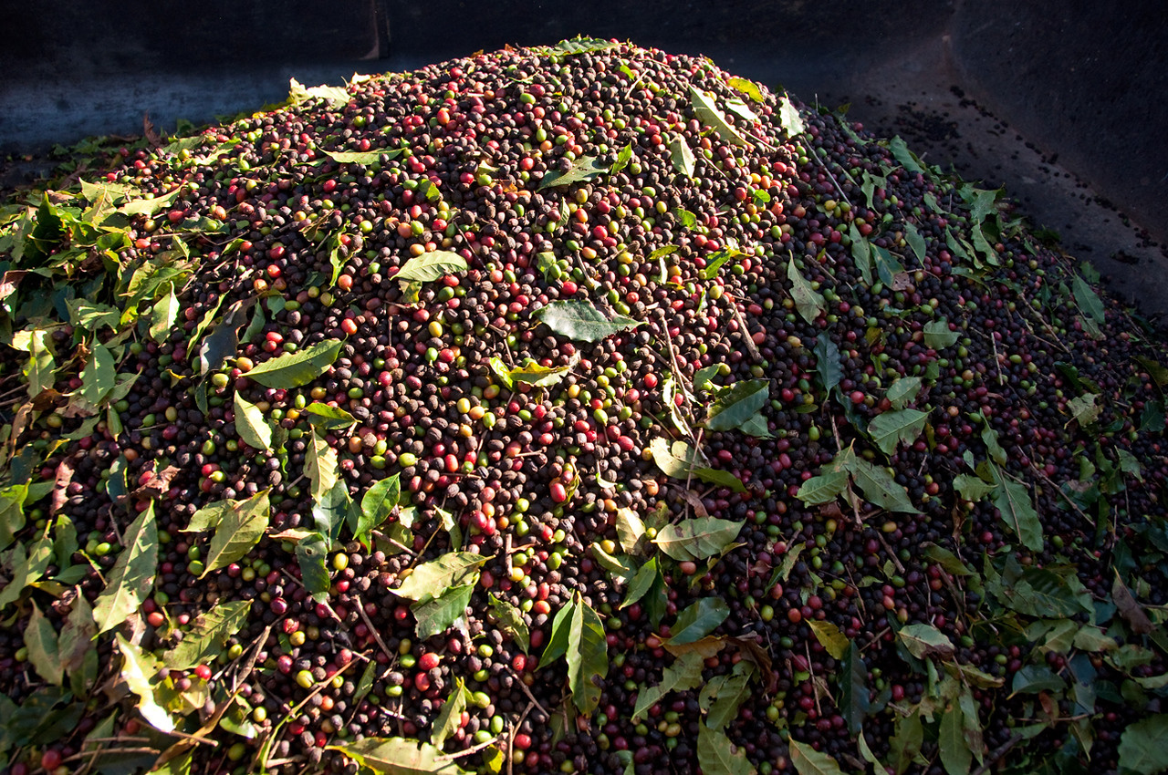 Mostly over ripe coffee cherries.....