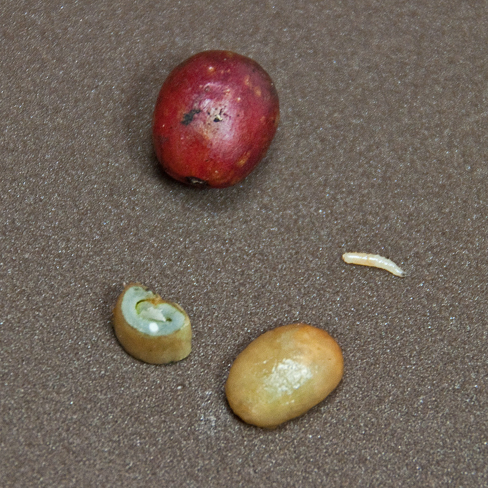 A coffee bean has been cut in the middle exposing the embryo as a white dot.  An embryo is fully laid out to the right.  This tiny sliver contains the amino acids so important for the proper formation of coffee's fine acids and aromas...... This is why coffee beans have to be treated so gently, particularly during the drying process.