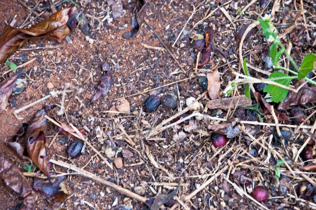About 10% of the crop has fallen to the ground and must be removed for proper sanitation - to avoid the development of pests. Enter the recoleitora....