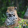 Jaguar studiously ignoring his audience