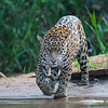 Jaguar - hot day, going for a cold bath and drink