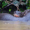 Giant Otter - parent & offspring