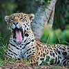 Jaguar - a yawn was the height of activity!