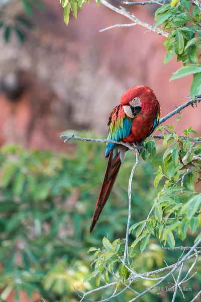 Red-and-green-macaw-in-the-Buraco-das-Araras-crater,-Jardim,-Mato-Grosso-do-Sul,-Brazil