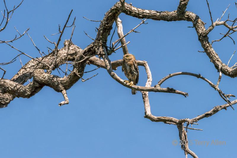 Dead-tree-with-Ferruginous-pygmy-owl-(Glaucidium-brasilianum),-Buraco-das-Araras,-Jardim,-Mato-Grosso-do-Sul,-Brazil