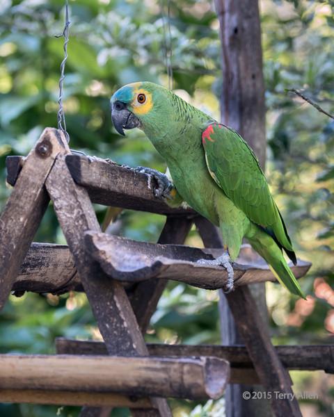 Banded-Blue-fronted-amazon-parrot-(Amazona-aestiva)-at-a-feeder,-Buraco-das-Araras,-Jardim,-Mato-Grosso-do-Sul,-Brazil