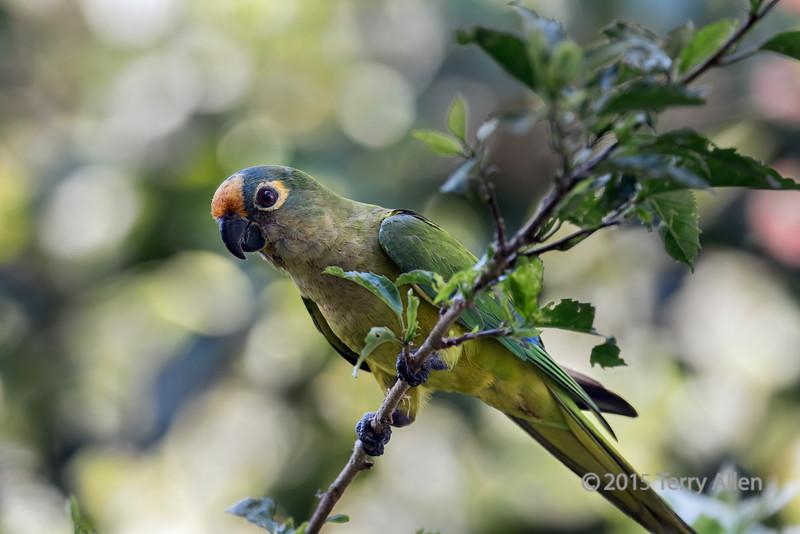 Wild-Peach-fronted-parakeet-(Eupsittula-aurea),-Buraco-das-Araras,-Jardim,-Mato-Grosso-do-Sul,-Brazil