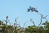 Wild-red-and-green-macaws-(Ara-chloropterus),-Buraco-das-Araras,-Mato-Grosso,-Brazil