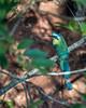 Blue crowned motmot, Buraco das Araras, Jardim, Mato Grosso do Sul, Brazil
