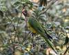 Wild-Peach-fronted-parakeet-(Eupsittula-aurea)-in-a-tree,-Buraco-das-Araras,-Jardim,-Mato-Grosso-do-Sul,-Brazil