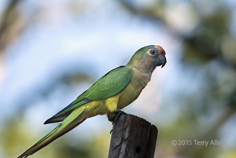 Peach-fronted-parakeet-(Eupsittula-aurea),-Buraco-das-Araras,-Jardim,-Mato-Grosso-do-Sul,-Brazil