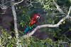 Wild-red-and-green-macaw-(Ara-chloropterus)-in-a-tree,-Buraco-das-Araras,-Mato-Grosso,-Brazil