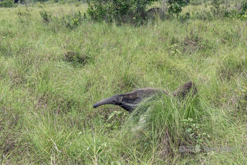 Giant-anteater-moving-though-grasslands,-Sao-Jose,-Mato-Grosso-do-Sul,-Brazil