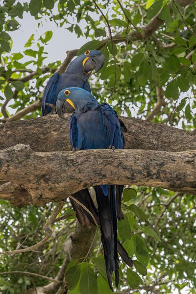 Pair-of-hyacinth-macaws,-opposite-head-positioin,-Sao-Jose,-Mato-Grosso-do-Sul,-Brazil