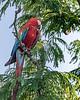 Red-and-green-macaw-in-a-mimosa-tree,-Buraco-das-Araras,-Jardim,-Mato-Grosso-do-Sul,-Brazil