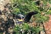 Buff-necked-ibis-(Theristicus-caudatus),-in-flight,-defecating,-Buraco-das-Araras,-Mato-Grosso,-Brazil