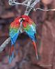 Afffectionate-moment,-Red-and-green-macaw-pair,-Buraco-das-Araras,-Jardim,-Mato-Grosso-do-Sul,-Brazil