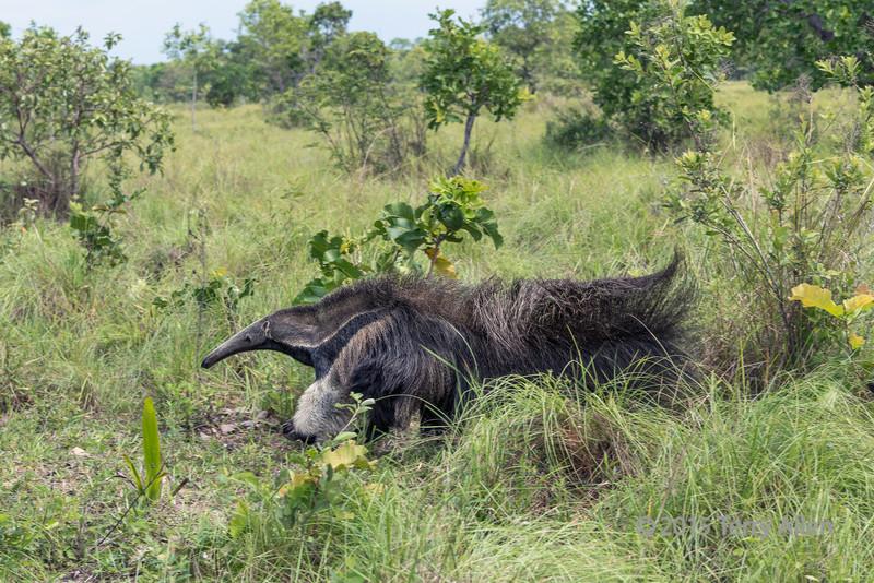 Giant-anteater-knuckle-walking,-Sao-Jose,-Mato-Grosso-do-Sul,-Brazil
