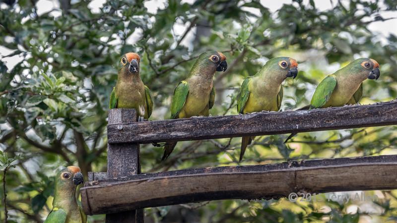 Dinner-time,-Peach-fronted-parakeets-lined-up-at-a-feeder,-Buraco-das-Araras,-Jardim,-Mato-Grosso-do-Sul,-Brazil