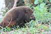 Pele Red Howler Monkey Serra Bonita Brazil