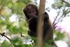 Yellow-breasted Capuchin Monkey Serra Bonita Brazil