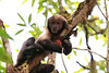 Yellow-breasted Capuchin Monkey Serra Bonita Brazil